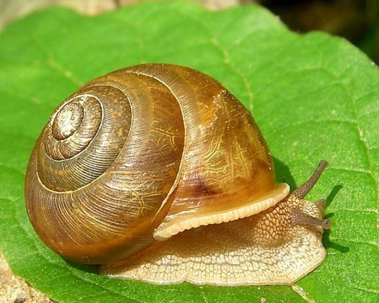 Can a Snail Attack a Human Being? (Solved)