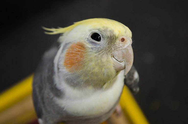 Are Cockatiels High Maintenance? (Essential Tips for Beginners)