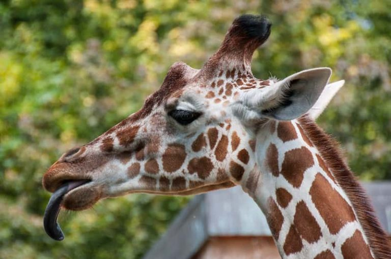 Why Is The Giraffe's Tongue Blue? (Clear explanation)