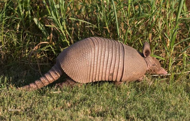 Do Armadillos Lay Eggs? Read These Key Facts
