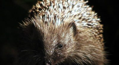 Do Hedgehogs Have Whiskers? (Find out how they use it)