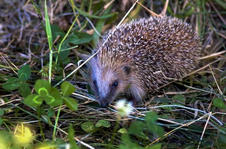 How Far Do Hedgehogs Travel?