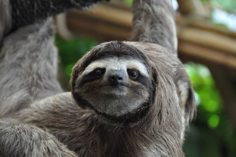 Are Sloths Dangerous? (Interesting Arguments)
