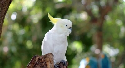 Can Cockatiels Drink Tap Water? (Key Tips)