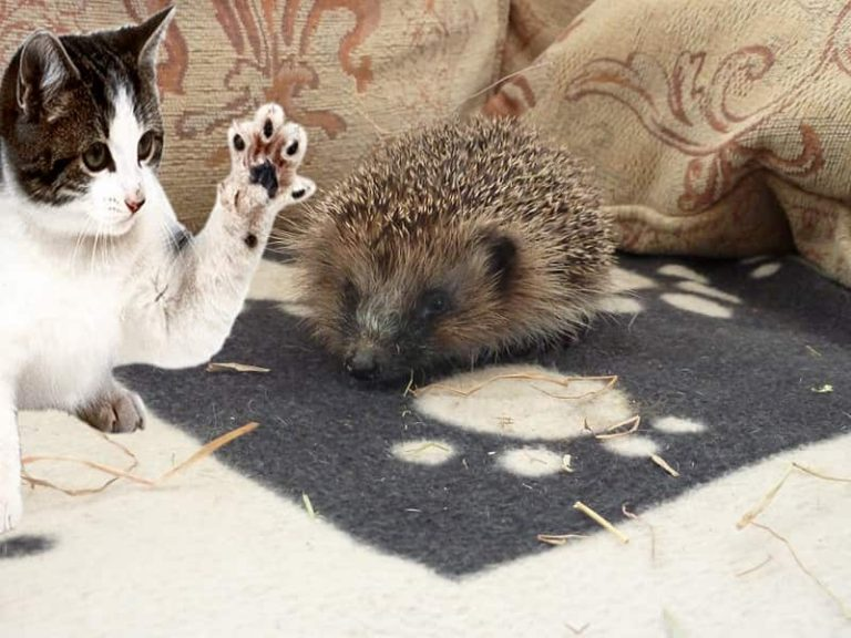 Can a Cat Attack a Hedgehog? (Find Out What Will Happen if They Fight)