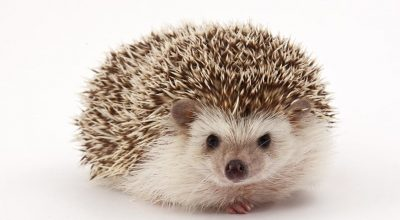 How Much Should Your Hedgehog Weigh? (Weight chart included)