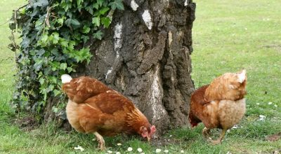 Which Plants Chickens Won't Eat and Which Ones Are Suitable?