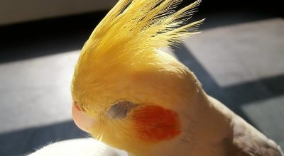 How Long Do Cockatiels Sleep? (Solved)