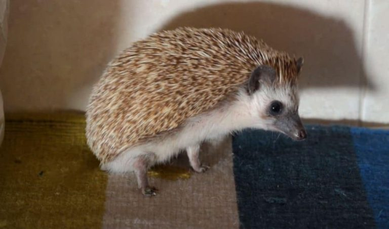 How Often Do Hedgehogs Poop and Pee? (Answered)