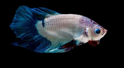 Is Betta Fish Fighting illegal? Yes, This is Why