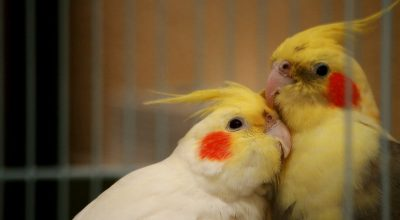 8 Reasons Why Cockatiels Can Attack Each Other