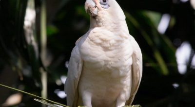 These Are Signs of an Aging Cockatiel