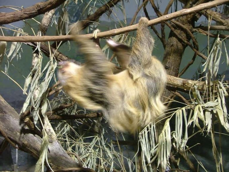 Do Sloths Mistake Their Arms For Branches? (Conclusive Arguments)