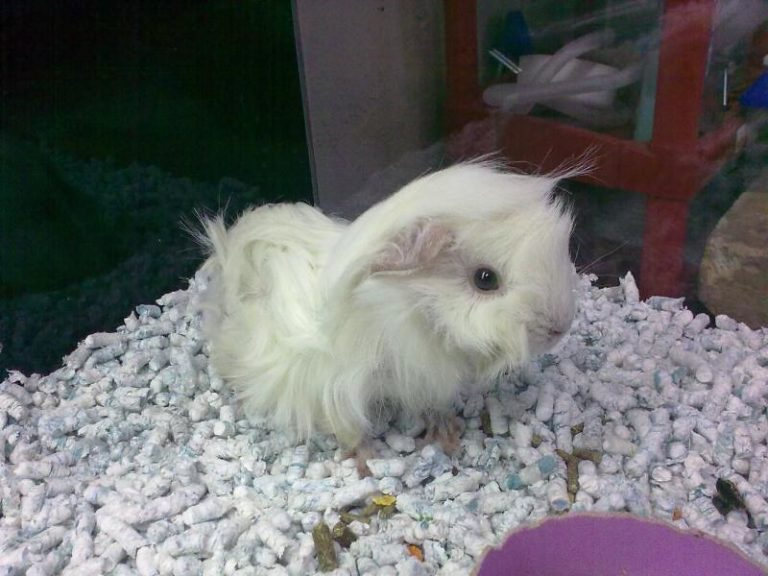 Are Guinea Pigs High Maintenance? Essential Tips for Beginners