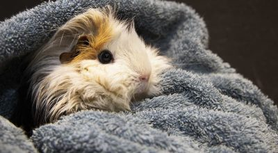 Don't Put a Night Light for Your Guinea Pigs, This is the Reason