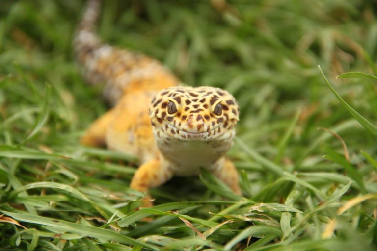 Can Leopard Geckos Eat Earthworms? (Solved)
