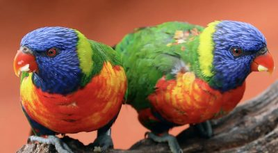 Do Lovebirds Make a Lot of Noise? (What to Do to Control It)
