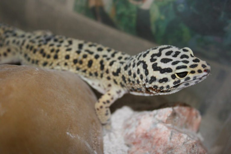 What Happens if Your Leopard Gecko Gets too Hot?