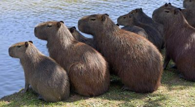 Are Capybaras dangerous? Here Are The Signs to Know It