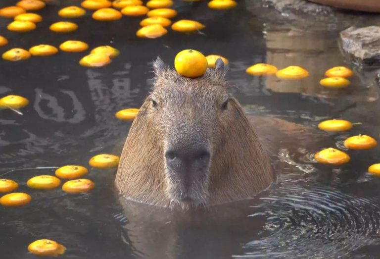Why Do Capybaras Like Oranges? (This is the Reason)