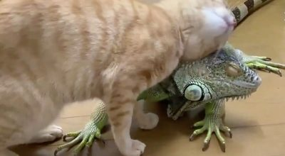Do Cats Attack Iguanas? (Depending On This)