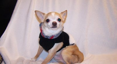 Do Chihuahuas Like Wearing Clothes?