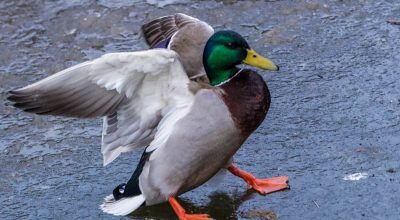 Do Ducks Have Good Memory? (Clear Explanation)