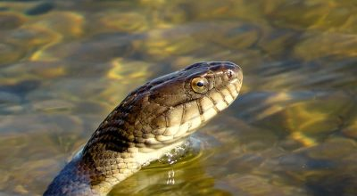 Can a Snake Drown? (Solved)