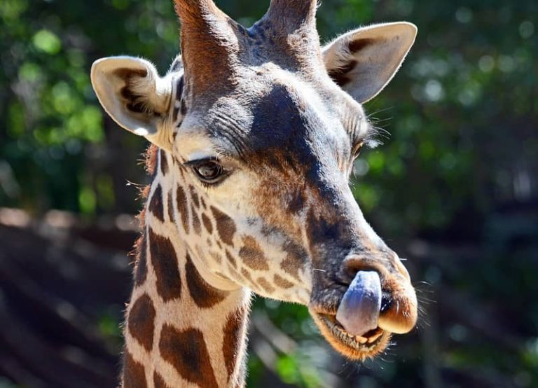 Do Giraffes Have Gills? (Amazing Facts)