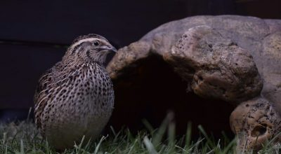 How Many Quails Should You Start With?