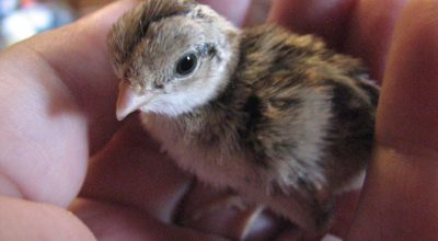 When Do Baby Quails Start Eating? (Day-by-Day Growth)