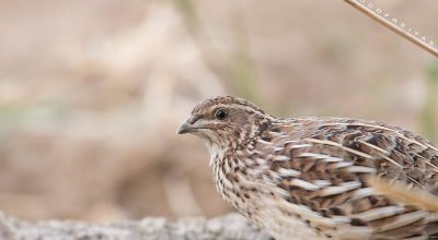 Why do Quails Lose Their Feathers? (The Main Reason)