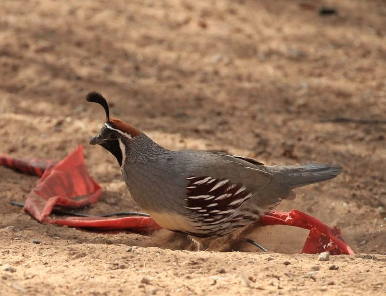 Why do Quail Dig in The Dirt? (The Main Reason)
