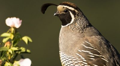 Do All Quail Have Top Knots?