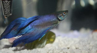Can a Betta Fish Breed Without The Bubble Nest?