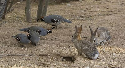 Quails and Rabbits, 6 Tips to Keep Them Together Successfully