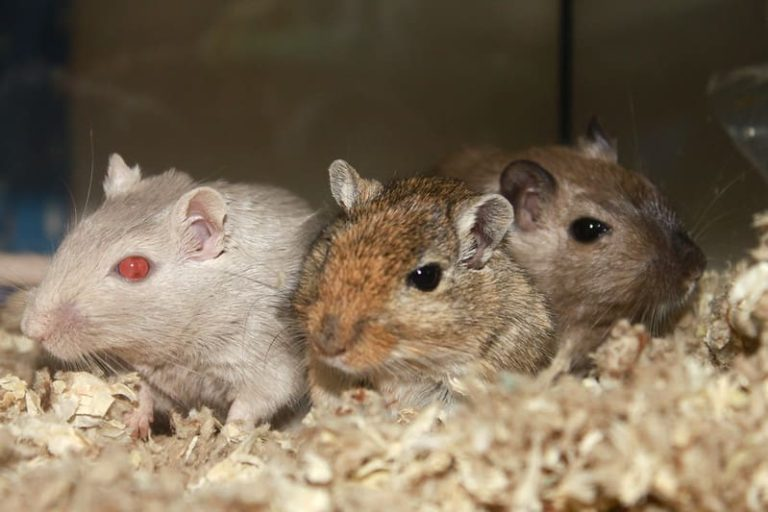 3 Methods to Reintroduce Fighting Gerbils (Prevents Fighting)