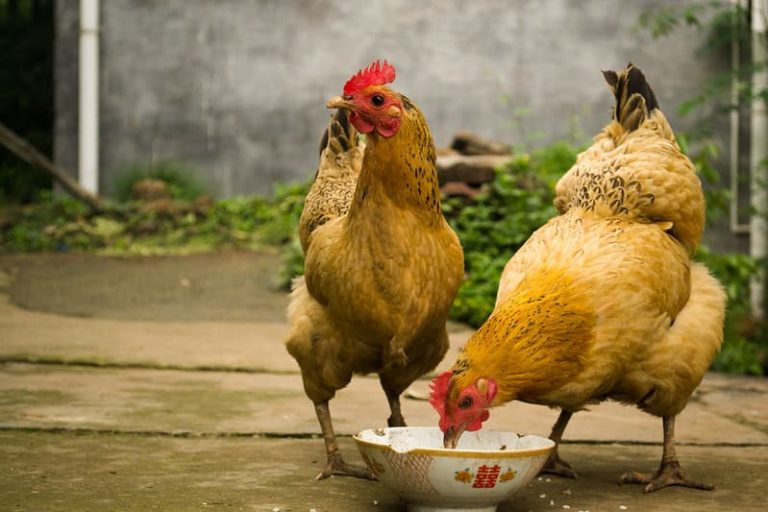 Can Chickens Drown in a Water Bowl?