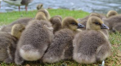 What Temperature is Too Cold For Baby Ducks? (Temperature Chart Included)