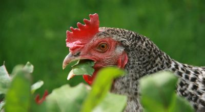 Can Chickens Eat Leaves? (Various Examples)