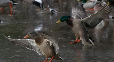 Can Ducks Smell Food? (Resolved)
