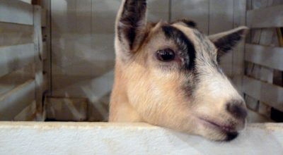 Can Pygmy Goats Eat Kale? (Solved)