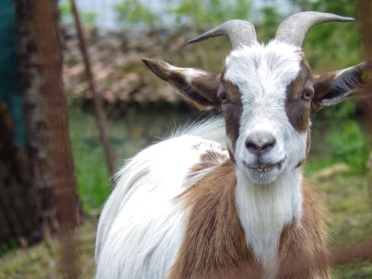 Can Goats Eat Okra? (Things To Consider)