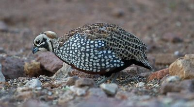 Why is Your Quail Panting? (Cause & Prevention)