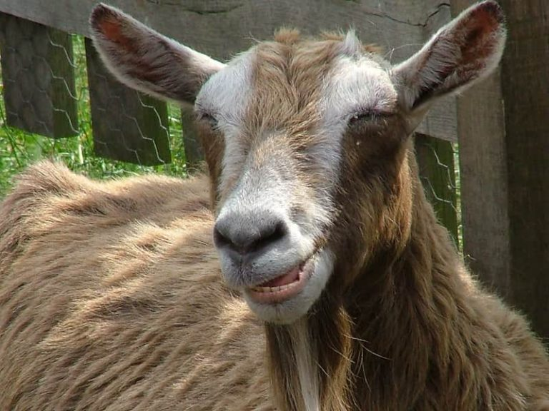 11 Plants Poisonous to Goats (With Pictures)