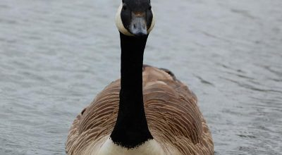 Why Do Geese Hiss? (Solved)