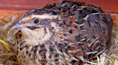 Why do Quails Make Noise at Night? (Causes & Preventions)