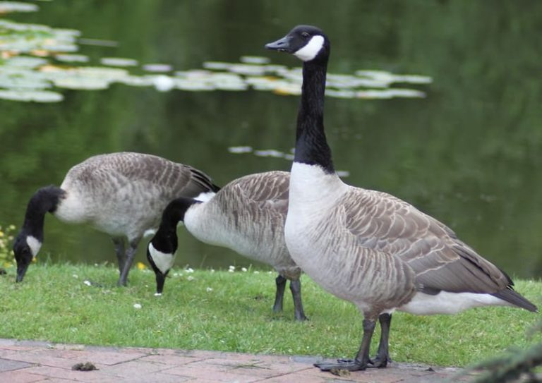 7 Fruits a Geese Can Eat (Benefits and Cautions)