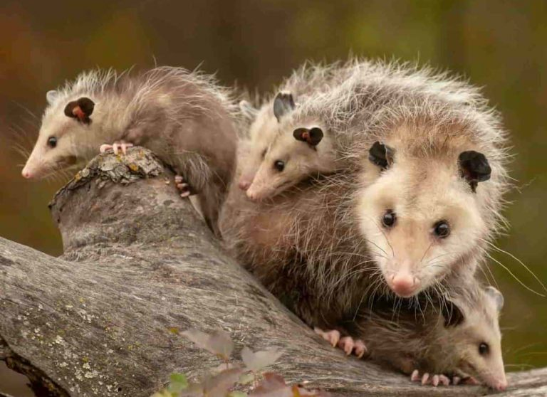 11 Facts About Opossums That You Probably Don't Know