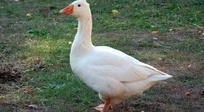 6 Things Geese Are Afraid Of (Top Most Effective)